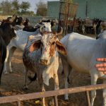 After 'Brainstorming Workshop', Top 50 Institutes Propose IIT Delhi To Research On Cow Products